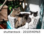 Two Domestic Cats In A Basket...