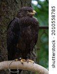 Golden Eagle   Aquila...