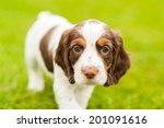 Cute Springer Spaniel Pup...