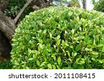 Ficus Annulata Banyan Tree ...