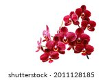 Lush blooming dark red orchid...