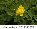 The Greater Celandine Yellow...