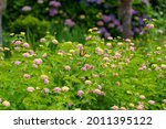 Lantana Flower Field And...