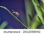 Common Flesh Fly  Sarcophaga...