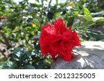 Hibiscus Rosa Sinensis Double ...