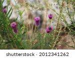 Spiked Blooms Purple Prairie...