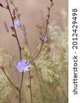 Chicory Wildflower Growing...