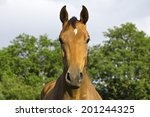 Stock photo beautiful head portrait of a purebred hanoverian bay horse 201244325