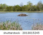A beaver dam rising above the water surface in a small lake at the HR Frink Centre