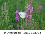 A Butterfly On Lythrum Anceps...