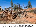 An Old Uprooted Tree That Had...