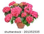 Pink Flowering Hydrangea In A...