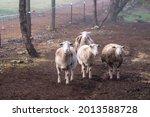 Small Flock Of Sheep Walking...