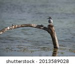 Chlidonias hybrida Bird from the subfamily of Sterninae, Terns,  with Orange Beak and White and Gray Plumage.