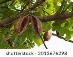 Large Open Seed Pod On An...