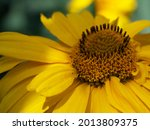 Arnica Montana  Also Known As...