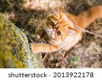 Persian Red Cat Sharpens Its...
