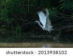 Little Egret In Flight  In The...