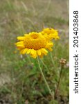 yellow chamomile or golden... | Shutterstock . vector #201403868