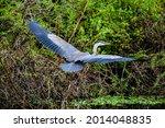 Big Blue Heron Spreading Wings...