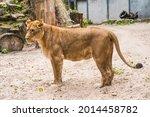 Lioness Profile Portrait  Face...