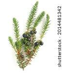 Small photo of Crowberry black, Empetrum (Empetrum nigrum)