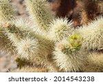 Teddy Bear Cactus On The ...