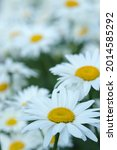 Small photo of Daisy flower background. Beautiful camomile daisy flowers.Daisy is a flower of Asteraceae family.White beautiful daisies on a field in green grass in summer.Garden daisies.Leucanthemum vulgare.