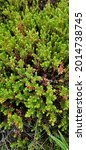 Small photo of Background of crowberry thickets in coniferous leaves resembling needles. Medicinal plant. Healthy eating and alternative medicine concept
