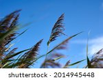 Pampas grass with blue sky and...