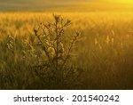 milk thistle on wheat field at...   Shutterstock . vector #201540242
