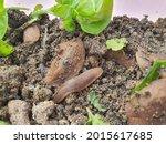Close Up. Malaysia Land Slug Or ...