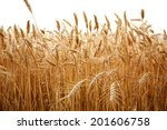 Close Up Stalks Of Wheat On A...