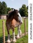 Clydesdale Horse Looking Over A ...