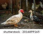 Muscovy Duck  Cairina Moschata  ...
