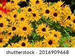 rudbeckia. the species are... | Shutterstock . vector #2016909668