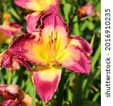 daylily is a flowering plant in ... | Shutterstock . vector #2016910235
