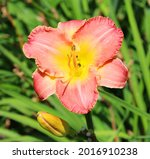 daylily is a flowering plant in ... | Shutterstock . vector #2016910238