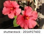 Hibiscus Rosa Sinensis  Known...