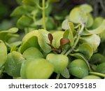 Phoradendron Leucarpum Is A...