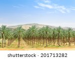 Date Palm Orchard Plantation...