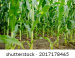 Ripening Of Green Corn In A...