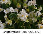 Close Up Of A White Begonia In...