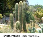 Tall And Beautiful Cactus Plant