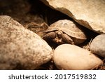 Baby Russian Tortoise Partially ...