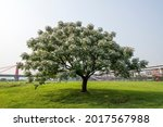 Flowering Chinaberry Tree In...
