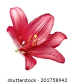 Purple Lily Isolated On White...