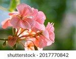 Geranium. Small Pale Pink...