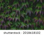 Parthenocissus Tricuspidata...