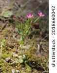 Small photo of Centaurium pulchellum, Lesser Centaury, Gentianaceae. Wild plant shot in summer.